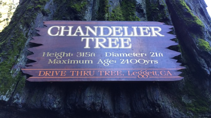 World famous chandelier tree california curiosities 67402 drive thru tree rd leggett ca 95585 aloadofball Choice Image