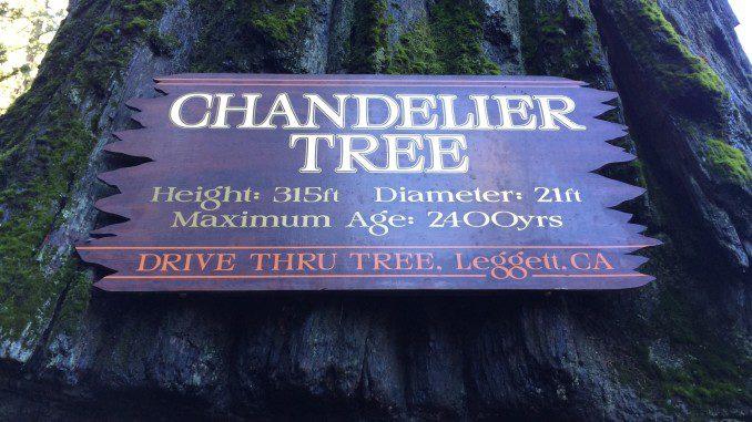 World famous chandelier tree california curiosities 67402 drive thru tree rd leggett ca 95585 aloadofball Images